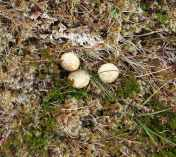 hare droppings