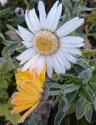 daisy and pot marigold