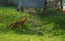 This was a particularly bold fox who seemed to have no fear