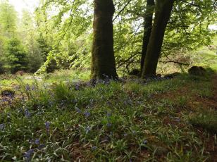 Bluebells, Union Wood