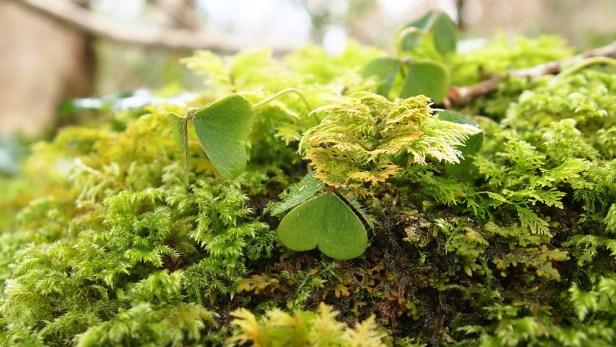 Wood sorrel on moss
