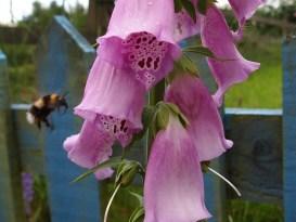 Bumblebee heading for foxglove