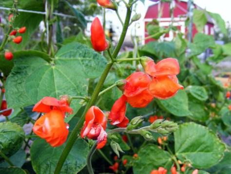 Scarlet runner beans