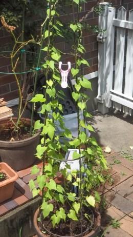 おばあちゃまの菜園とリハビリ