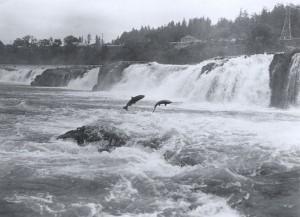 Wild Pacific Salmon jumping at Willamette falls (Photo credit: Wikipedia)