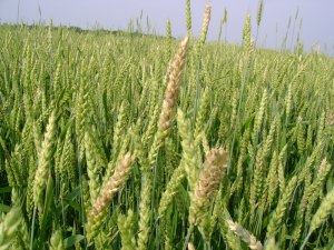 33 dwarf wheat crop