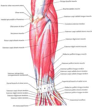Forearm Muscles – Structure, Injuries, Veins & Exercise
