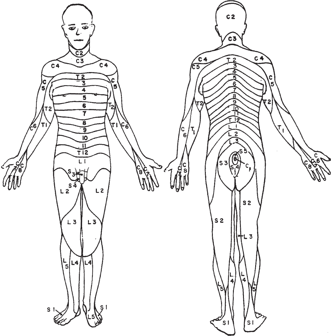 Dermatomes Anatomical Chart