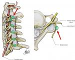 Nerves (Innervation of the Spine)