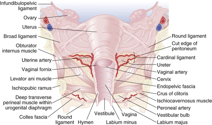 The Female Hip And Pelvis Musculoskeletal Key