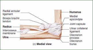 Elbow Anatomy - Human Anatomy