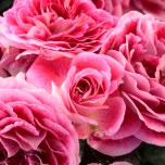 La propriété intellectuelle des roses