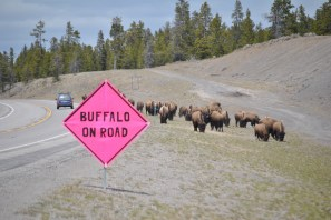 In springtime, buffalo traffic safety is one of BFC's main tasks. Photo Credit: Stephany Seay, Buffalo Field Campaign