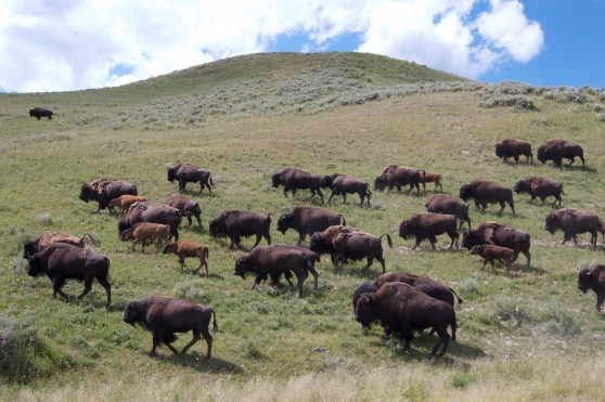 The Great Plains prairie ecosystem coevolved with countless herds of free-roaming bison. Photo Credit: Stephany Seay, Buffalo Field Campaign