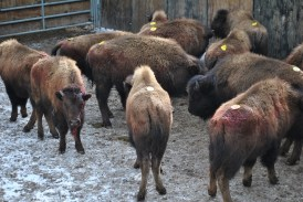 The bison struggle violently in confinement, at times leading to injuries like the broken horn in this photo. Photo Credit: Stephany Seay, Buffalo Field Campaign