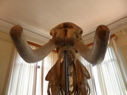 Scheletro di elefante