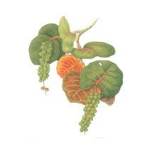 Katherine Manisco (England-USA-Italy), Sea Grapes [Coccoloba uvifera (Polygonaceae)], 1998