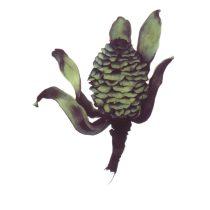 Sarah Graham (England), Big Fir [Leucadendron strobilinum (Proteaceae)], 2008