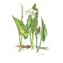 Anna Maria, Aulicino, Zantedeschia aethiopica (Araceae), 2011