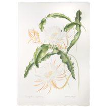 Malena Barretto (Brazil), Epiphyllum oxypetalum (Cactaceae)