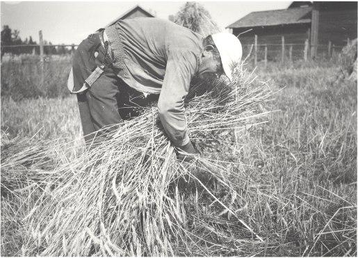 Ruislyhteen sitominen alkaa, vuosi 1959. Kuva: Mäntyharjun museo, kuvaaja: Helmi Virtaranta.