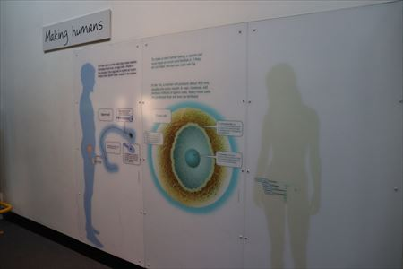 人間のコーナーでは生殖に関する展示も行われています
