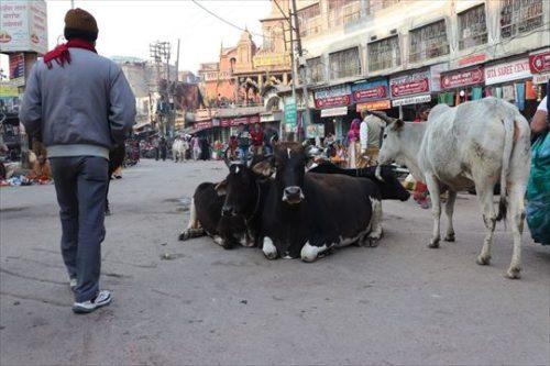 中には露店のものを食べようとする牛もいて、追い払うのに苦労している姿も見かけました