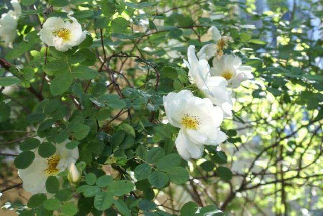 Белая роза садовая