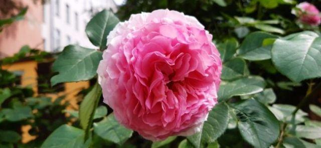Зацвели розы