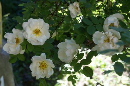 Белая роза садовая!