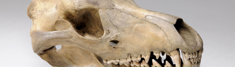 The skull of a thylacine.