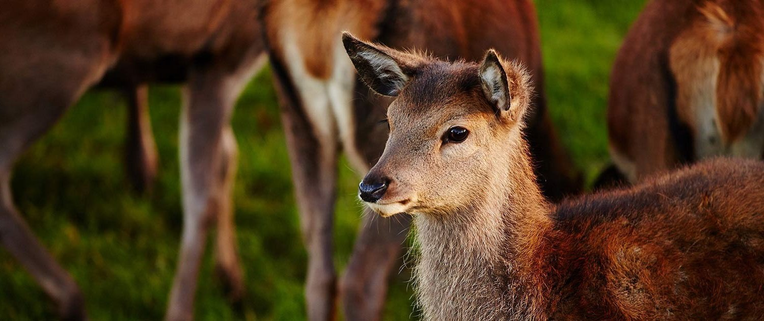 Red deer with other deer in the background