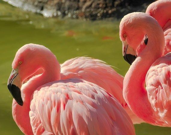Three flamingos at a pond