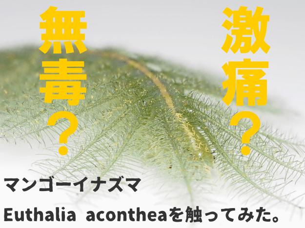 イナズマチョウ幼虫と文化的ベイツ型擬態