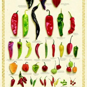 Fresh Chile Peppers Poster - White Background