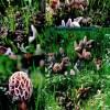 Morel Mushrooms growing in a Morel Habitat