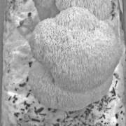 Clusters of Lion' Mane Mushrooms on a Mushroom Log