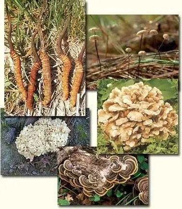 Mycoplec 7 Medicinal Mushrooms