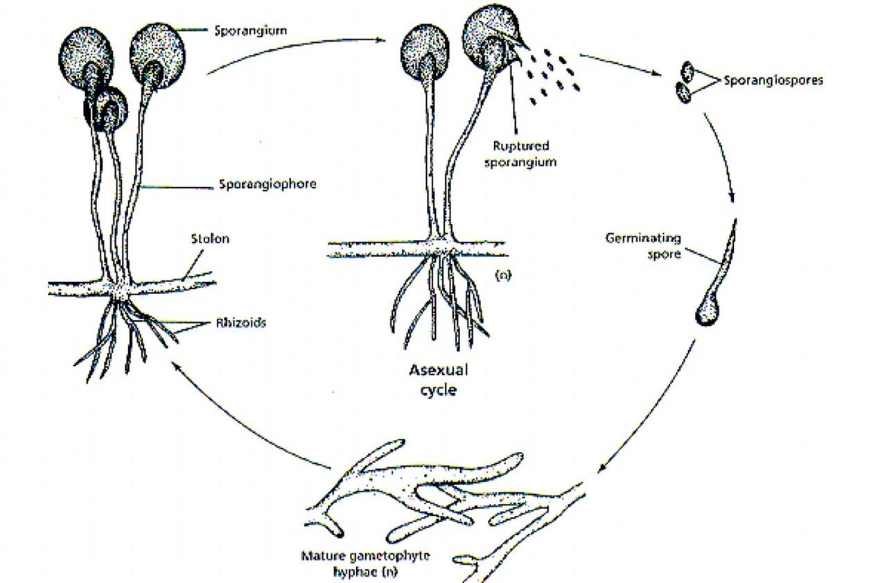 Mushroom Observer Observation Mucor Racemosus Bull