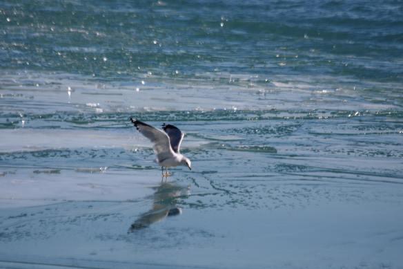 Ring-Billed Gull IMG_9517_1