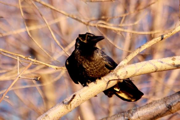 Windblown Crow IMG_9199_1