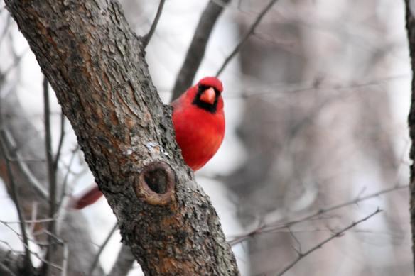 Cardinal IMG_1791_1