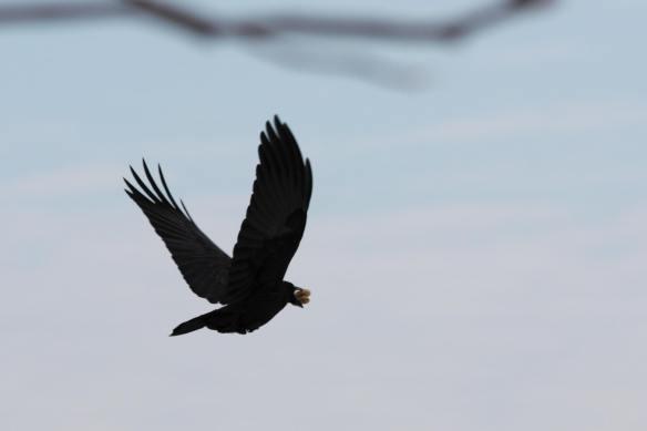 Crow IMG_0154_1