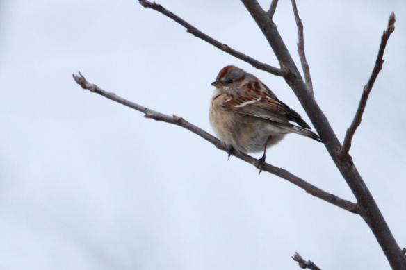 Tree Sparrow IMG_0260_1