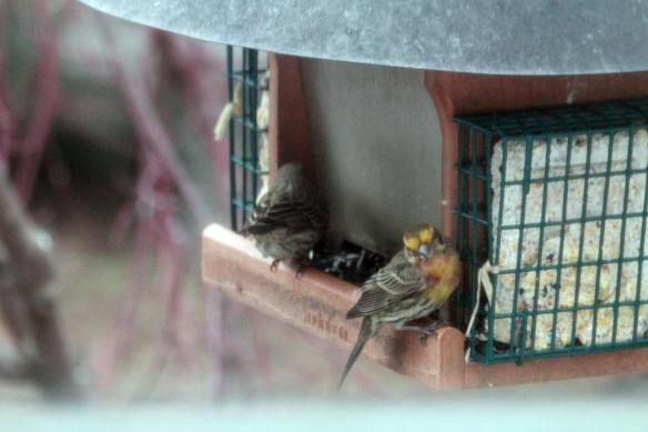 Yellow House Finch IMG_1037_1