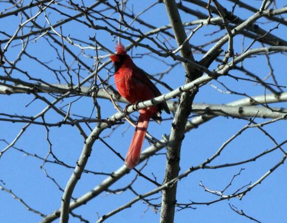 Cardinal IMG_1475_1