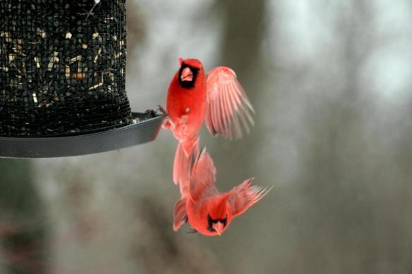 Cardinals Feeder Free-Fall IMG_1619_1