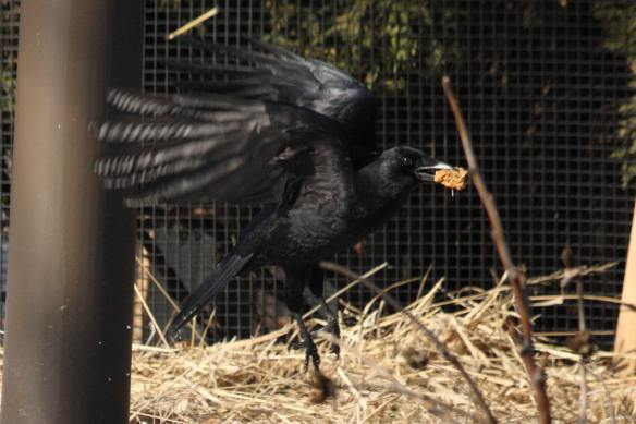 Crow Cookies IMG_1413_1