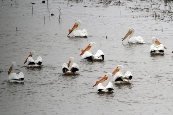 American White Pelicans IMG_6998_1