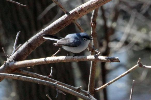 Blue-Gray Gnatcatcher IMG_5897_1